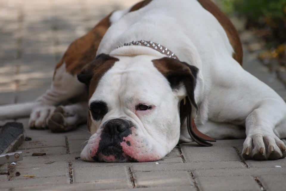 Lazy Exhausted Chill Out Dog Relax Rest Boxer 407605